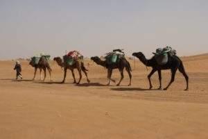 excursion désert Maroc chameaux
