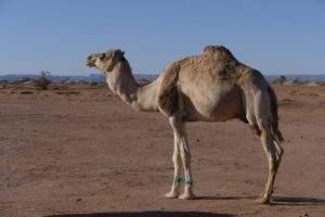excursion maroc dromadaires